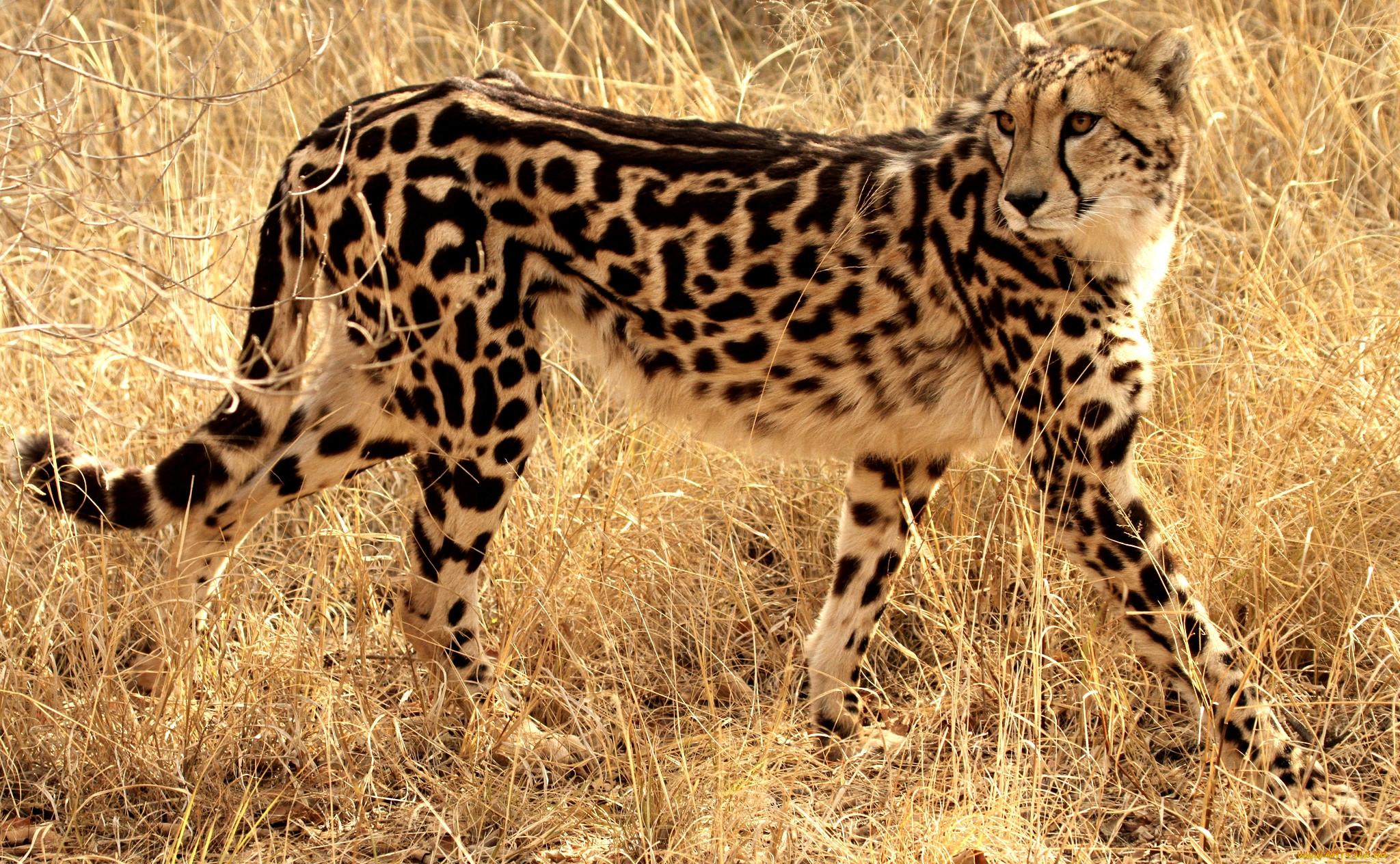 теплица гепард кошки картинки необычной
